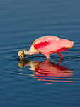 Roseate Spoonbill foraging in shallows
