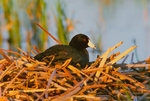 American Coot on nest