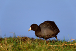 American Coot by pond