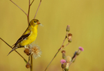 American Goldfinch (female) gathering thistle fibers