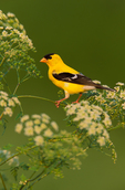 American Goldfinch (male) on flowering Poison Hemlock