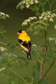 American Goldfinch (male) in flowering Poison Hemlock