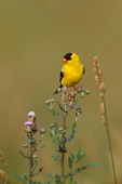 American Goldfinch (male) on thistle