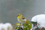 American Goldfinch (male) on Pieris japonica in snowstorm