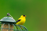 American Goldfinch (male) on sunflower seed feeder