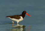 American Oystercatcher in shallows