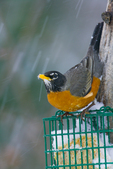 American Robin on suet feeder in snowstorm
