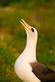 Laysan Albatross calling/displaying