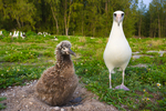 Laysan Albatross chick on nest, adult looking on