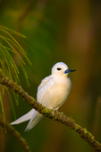 White Tern in Longleaf Ironwood (Casuarina glauca)