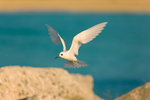 White Tern hovering over breakwater