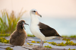 Laysan Albatross with yawning chick at dusk