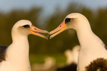 Laysan Albatross pair billing in busy colony