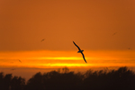 Laysan Albatross over Midway Atoll at sunset