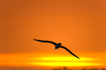 Laysan Albatross above island at sunset