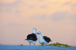 Laysan Albatross pair allopreening/displaying at dusk