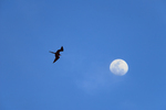 Great Frigatebird w/inflated gular pouch against moon
