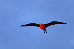 Great Frigatebird (male) with inflated gular pouch (courtship display)