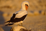 Nazca Booby (formerly Masked Booby) preening on beach, late afternoon
