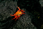 Sally Lightfoot Crab on lava shore 