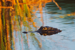 American Alligator in marsh, early light