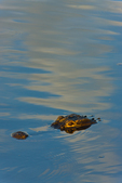 American Alligator in early light