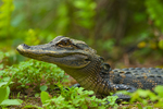 American Alligator (juvenile)