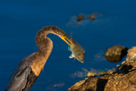 Anhinga with impaled fish