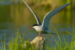 Arctic Tern landing on snag