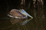 Brown Pelican (immature) in mangroves