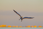Brown Pelican over Gulf of Mexico at sunset, coastal development in background