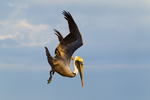 Brown Pelican beginning dive for fish