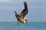 Brown Pelican diving, coastal development in background