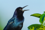 Boat-tailed Grackle (male) singing