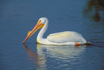 American White Pelican showing epidermal plate (&quot;horn&quot;) that accompanies breeding plumage