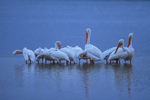 American White Pelicans preening at dusk