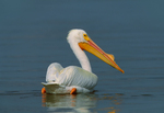 American White Pelican showing epidermal plate or &quot;horn&quot; that accompanies breeding plumage