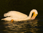 American White Pelican foraging