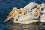 American White Pelicans fishing cooperatively