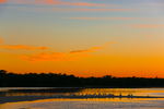 American White Pelicans on sand bar at sunset, White Ibis overhead