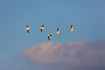 American White Pelican flock