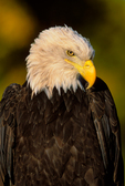 Bald Eagle against Fall foliage