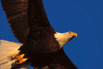 Bald Eagle overhead, first light