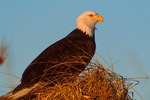 Bald Eagle resting in winter beach grass