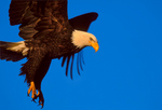 Bald Eagle, talons down 