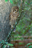 Barred Owl hunting by Corkscrew Swamp Sanctuary boardwalk
