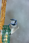 Blue Jay at suet feeder in snowstorm