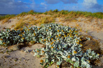 Sea Cabbage and grasses, inland side of low dune, Carcass Island