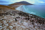 Nesting Rockhopper Penguins and Imperial Shags, The Neck and Elephant Head in the distance, Saunders Island
