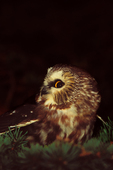 Northern Saw-whet Owl in spruce